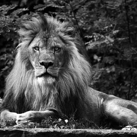 This majestic lion looked me right in the eye with an intense stare when I took this shot. His name is Asani and he resides at the Buffalo Zoo.