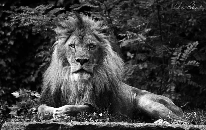 Lion King by ctbehrend - A Black And White World Photo Contest