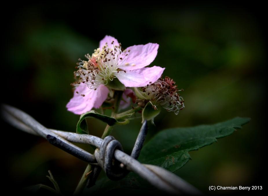 Blackberry flower late bloom in autumn