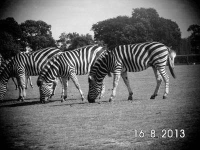life as the colour of a zebra