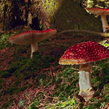 Fly Agaric mushrooms  seen in the woodland at Llyn Brenig, North Wales.