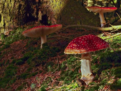 Fly Agaric mushrooms  seen in the woodland at Llyn Brenig, North Wales. by Theo-Herbots-Fotograaf