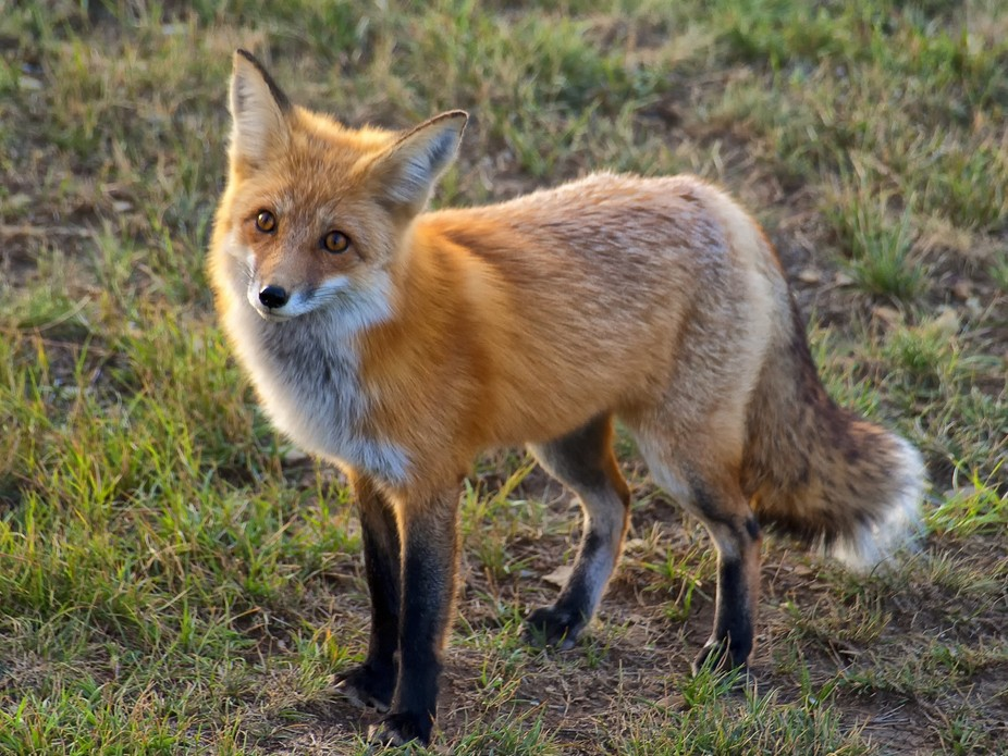 Photo of a red fox taken in the wild in Southern Colorado