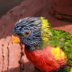 These bold and noisy birds are among the most colorful members of the parrot family. They typically leave their roosting areas at sunrise and fly...