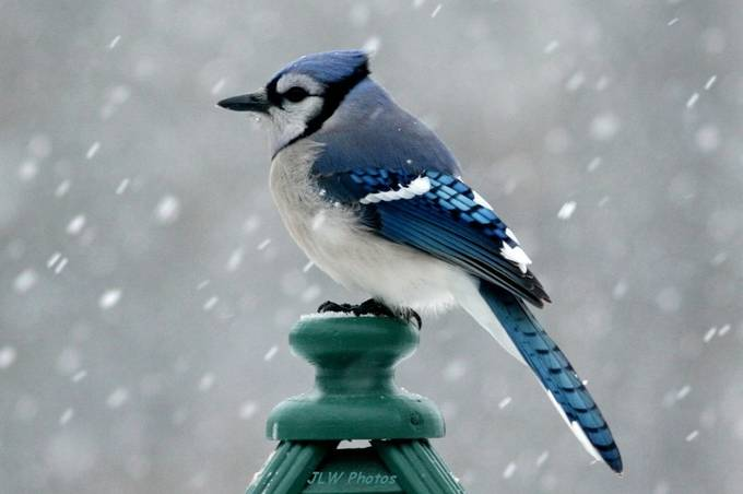 Bluejay in the snow by JLWPhotos - Snowflakes Photo Contest