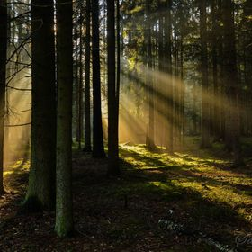 Sunlight falling through a spruce forest in an area called Fichtelgebirge in Bavaria, Germany.