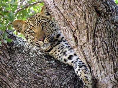 Leopards Don