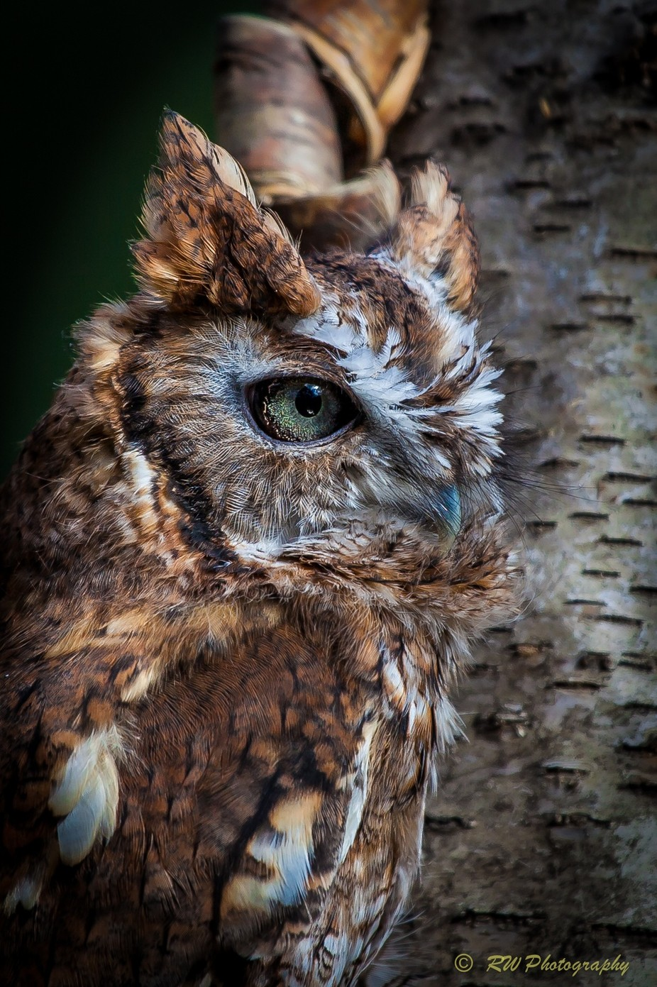 Screech Owl 3 by DeadEye - Green Eyes Photo Contest