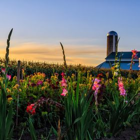 I was driving along and saw this Amish or Mennonite, not sure which, flower field and barn and said I had to come back during sunset. A few night...