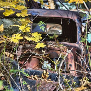 Overgrown antique car; junkyard beauty