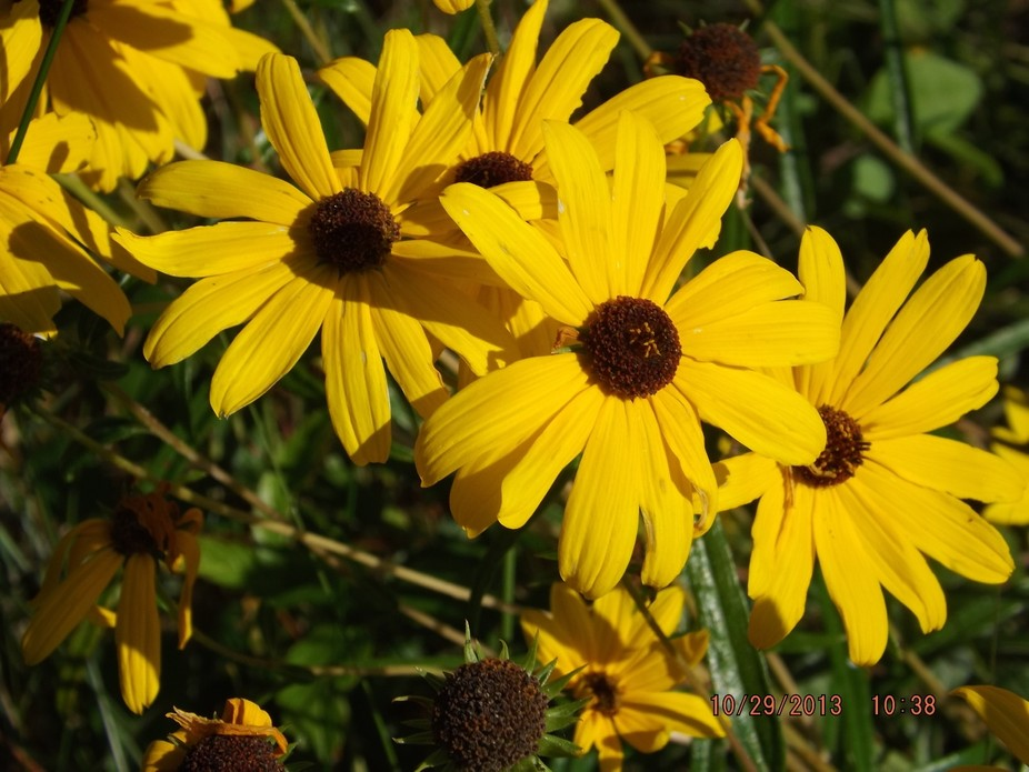 Black eyed Susans on the side of the road