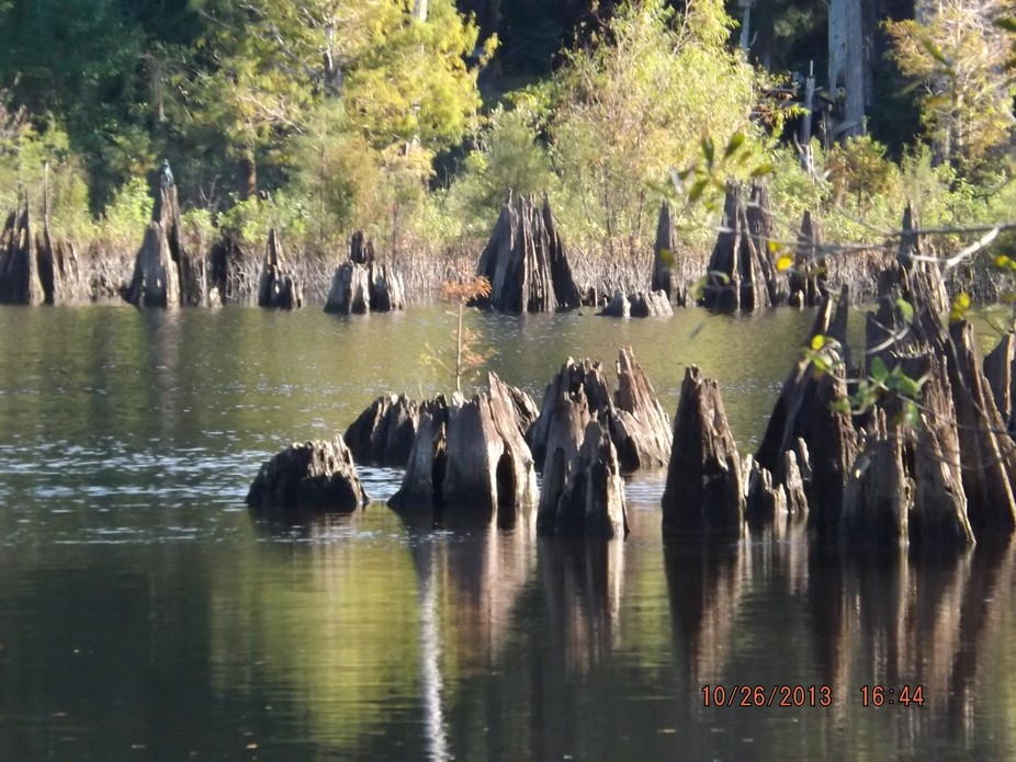 Cypress knees in Brackish water of the Dead Lakes