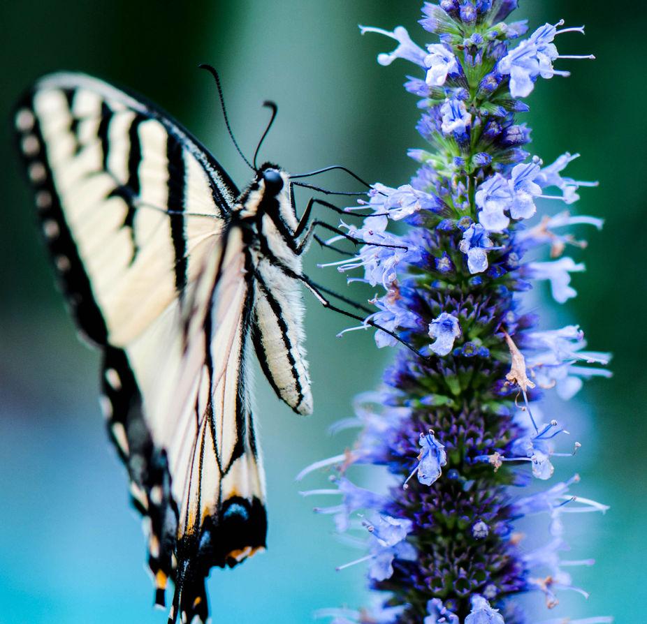 macro side view swallowtail on giant hyssop
