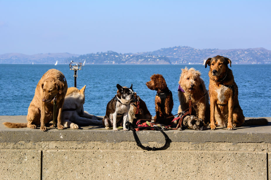 San Francisco Bay dog walker training 8 dogs at once, incredible sight.  I had to restrain my urg...