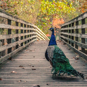 A Peacock roams about nonchalantly
