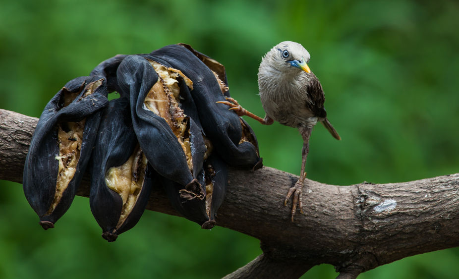 """A disheveled Chestnut tailed Starling asking """" Well would you eat it """""""