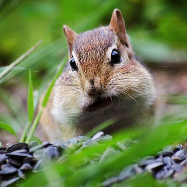 A close-up of a chipmunk with its cheeks full of sunflower seeds.