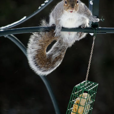 A grey squirrel hanging on against a cold winter wind.