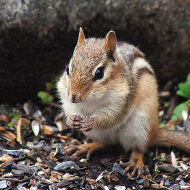 Close-up of a chipmunk eating sunflower seeds.
