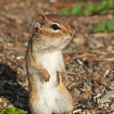 A chipmunk standing on its back legs with its cheeks full of sunflower seeds.