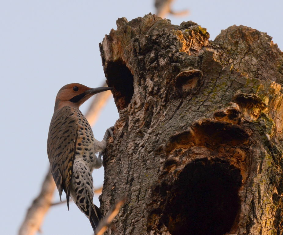 Northern Flicker looking for a home