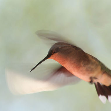 A close-up of a female hummingbird in flight.