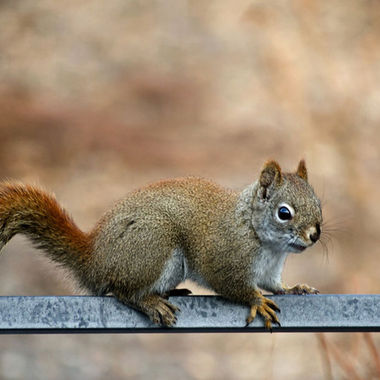 A red squirrel on the back of a metal patio chair.