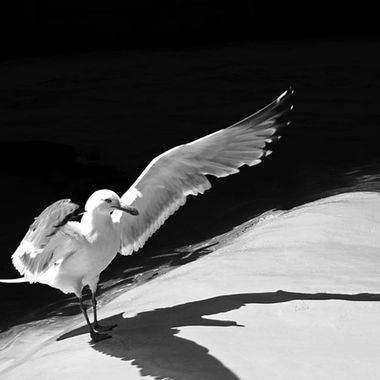 A seagull landing with the sun to its back.