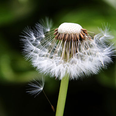 Close-up of a dandelion that has gone to seed.