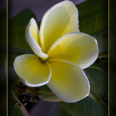 Hawaii-flower3328b
