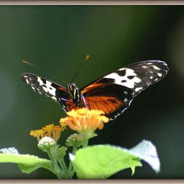 butterfly_net_067c
