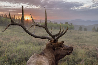 High Meadow Elk