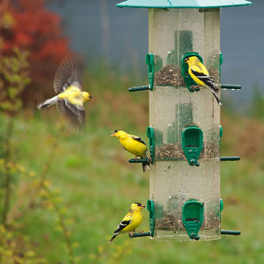 Goldfinches on a sunflower seed feeder.