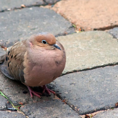 A mourning dove sitting on a stone patio.