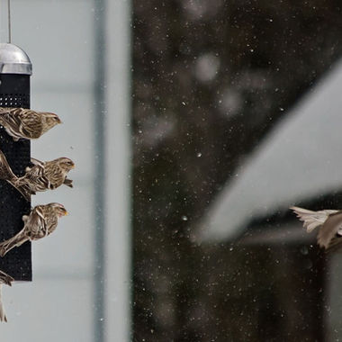 A group of redpolls on a feeder watching one of their group fly away.