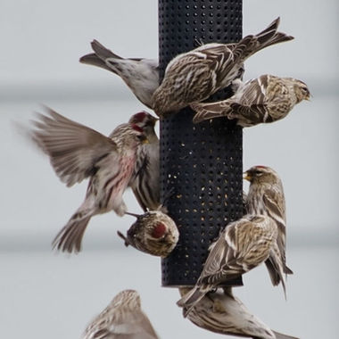 A group of redpolls on a feeder.