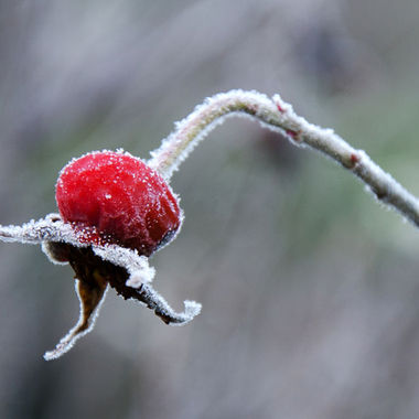 Close-up of a frost covered rose hip.