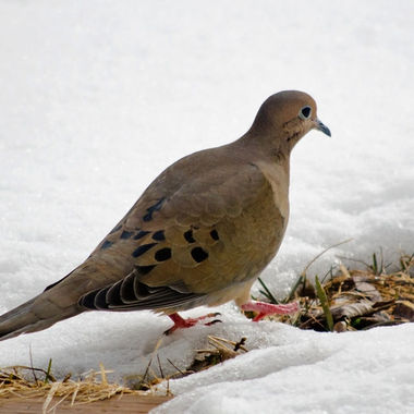 A mourning dove stepping from snow to bare grass.