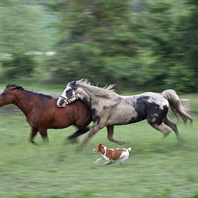 horse's and dog running in a field panning shot