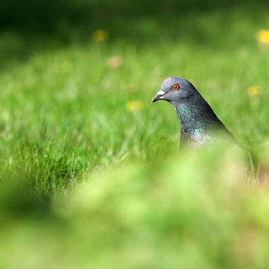A pigeon looking over tall grass in the foreground.