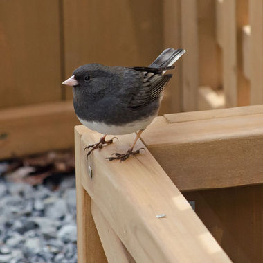A male slate coloured junco on a wooden planter box.
