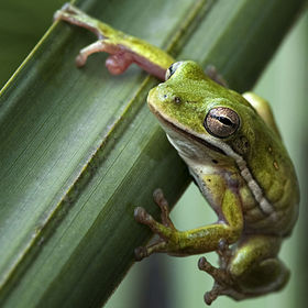 A tree frog hanging on in the swamps of Louisiana.