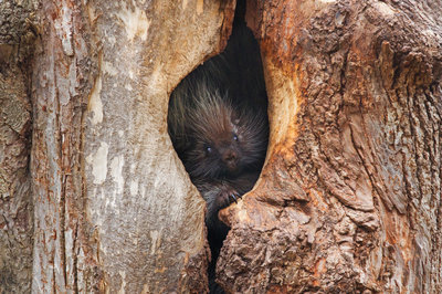 Wood Troll - Porcupine