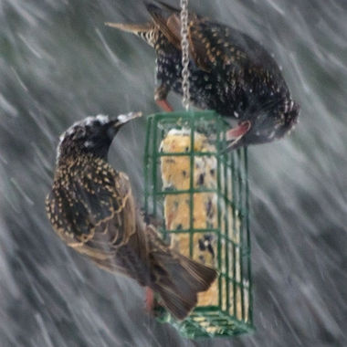 Two starlings on a suet feeder in a snow storm.