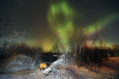 Red Fox and Northern Lights