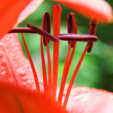 A close-up of the centre of a red lily.