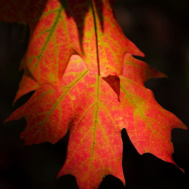 A close-up of a group of red maple leaves.