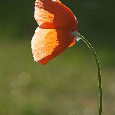 An orange poppy back-lit by the morning light.