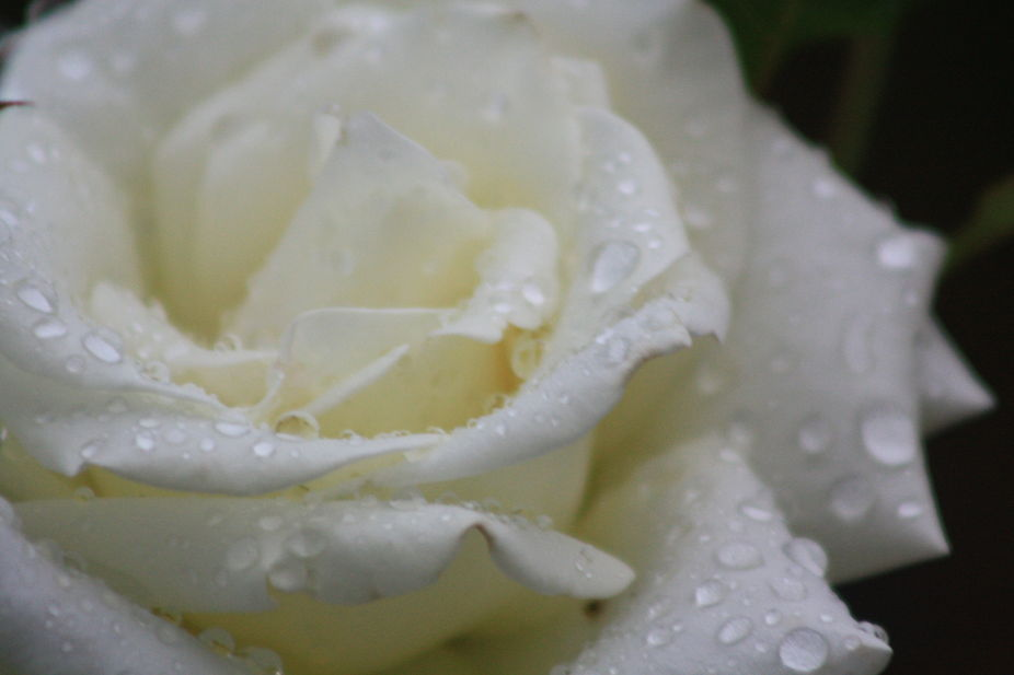 White rose after the rain.