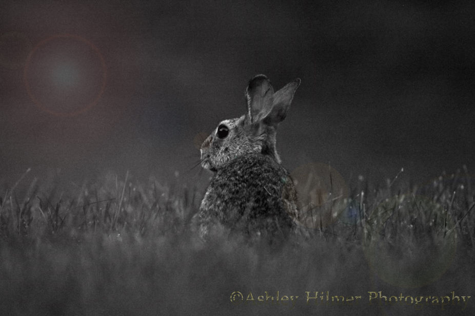 A rabbit sitting in the grass at dusk.